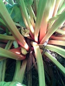 rhubarb in the pie garden