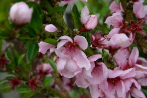 nectarine blossoms