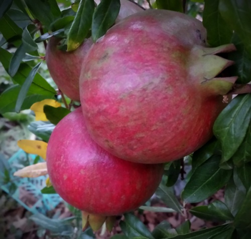 Pomegranates, apples and honey are also great foods to eat for Rosh Hashanah