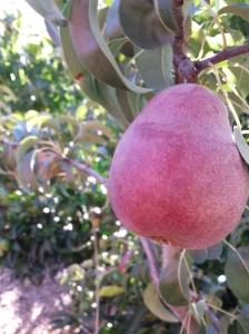 petaluma pear